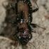 Notiophilus palustris - Pelkinis žvilgžygis   Fotografijos autorius : Lukas Jonaitis   © Macrogamta.lt   Šis tinklapis priklauso bendruomenei kuri domisi makro fotografija ir fotografuoja gyvąjį makro pasaulį.
