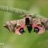 Akiuotasis sfinksas - Smerinthus ocellata | Fotografijos autorius : Lukas Jonaitis | © Macrogamta.lt | Šis tinklapis priklauso bendruomenei kuri domisi makro fotografija ir fotografuoja gyvąjį makro pasaulį.