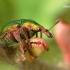 Byctiscus betulae - Liepinis cigarsukis | Fotografijos autorius : Lukas Jonaitis | © Macrogamta.lt | Šis tinklapis priklauso bendruomenei kuri domisi makro fotografija ir fotografuoja gyvąjį makro pasaulį.