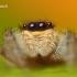 Marpissa radiata - Juostuotasis margašoklis   Fotografijos autorius : Lukas Jonaitis   © Macrogamta.lt   Šis tinklapis priklauso bendruomenei kuri domisi makro fotografija ir fotografuoja gyvąjį makro pasaulį.