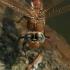 Tikrieji laumžirgiai, Aeshna grandis - Didysis laumžirgis | Fotografijos autorius : Lukas Jonaitis | © Macrogamta.lt | Šis tinklapis priklauso bendruomenei kuri domisi makro fotografija ir fotografuoja gyvąjį makro pasaulį.
