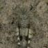 Oedipoda caerulescens - Mėlynsparnis tarkšlys | Fotografijos autorius : Lukas Jonaitis | © Macrogamta.lt | Šis tinklapis priklauso bendruomenei kuri domisi makro fotografija ir fotografuoja gyvąjį makro pasaulį.