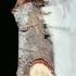 Phalera bucephala - Tošinis kuoduotis | Fotografijos autorius : Lukas Jonaitis | © Macrogamta.lt | Šis tinklapis priklauso bendruomenei kuri domisi makro fotografija ir fotografuoja gyvąjį makro pasaulį.