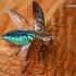 Chrysobothris affinis - Ąžuolinis blizgiavabalis | Fotografijos autorius : Lukas Jonaitis | © Macrogamta.lt | Šis tinklapis priklauso bendruomenei kuri domisi makro fotografija ir fotografuoja gyvąjį makro pasaulį.