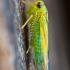 Cikadelė - Kybos sp.   Fotografijos autorius : Lukas Jonaitis   © Macrogamta.lt   Šis tinklapis priklauso bendruomenei kuri domisi makro fotografija ir fotografuoja gyvąjį makro pasaulį.