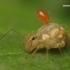 Sminthuridae - Rutuliškoji podūra   Fotografijos autorius : Lukas Jonaitis   © Macrogamta.lt   Šis tinklapis priklauso bendruomenei kuri domisi makro fotografija ir fotografuoja gyvąjį makro pasaulį.