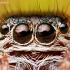 Vaivorykštinio musėgaudžio portretas | Fotografijos autorius : Lukas Jonaitis | © Macrogamta.lt | Šis tinklapis priklauso bendruomenei kuri domisi makro fotografija ir fotografuoja gyvąjį makro pasaulį.