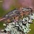 Chalcophora mariana - Didysis blizgiavabalis   Fotografijos autorius : Lukas Jonaitis   © Macrogamta.lt   Šis tinklapis priklauso bendruomenei kuri domisi makro fotografija ir fotografuoja gyvąjį makro pasaulį.