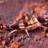 Podūra - Orchesella flavescens | Fotografijos autorius : Lukas Jonaitis | © Macrogamta.lt | Šis tinklapis priklauso bendruomenei kuri domisi makro fotografija ir fotografuoja gyvąjį makro pasaulį.