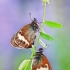 Krūminis satyriukas - Coenonympha arcania  | Fotografijos autorius : Lukas Jonaitis | © Macrogamta.lt | Šis tinklapis priklauso bendruomenei kuri domisi makro fotografija ir fotografuoja gyvąjį makro pasaulį.