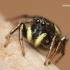 Heliophanus sp. - Žėrūnas   Fotografijos autorius : Lukas Jonaitis   © Macrogamta.lt   Šis tinklapis priklauso bendruomenei kuri domisi makro fotografija ir fotografuoja gyvąjį makro pasaulį.