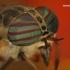 Hybomitra sp. - Sparva   Fotografijos autorius : Lukas Jonaitis   © Macrogamta.lt   Šis tinklapis priklauso bendruomenei kuri domisi makro fotografija ir fotografuoja gyvąjį makro pasaulį.