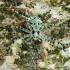 Kamieninis vikrūnas - Philodromus margaritatus   Fotografijos autorius : Lukas Jonaitis   © Macrogamta.lt   Šis tinklapis priklauso bendruomenei kuri domisi makro fotografija ir fotografuoja gyvąjį makro pasaulį.