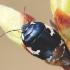 Tritomegas bicolor - Baltadėmė urvablakė   Fotografijos autorius : Arūnas Eismantas   © Macrogamta.lt   Šis tinklapis priklauso bendruomenei kuri domisi makro fotografija ir fotografuoja gyvąjį makro pasaulį.