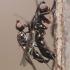Sepsidae - Skruzdmusė | Fotografijos autorius : Arūnas Eismantas | © Macrogamta.lt | Šis tinklapis priklauso bendruomenei kuri domisi makro fotografija ir fotografuoja gyvąjį makro pasaulį.