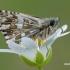 Pyrgus malvae - Mažoji hesperija | Fotografijos autorius : Arūnas Eismantas | © Macrogamta.lt | Šis tinklapis priklauso bendruomenei kuri domisi makro fotografija ir fotografuoja gyvąjį makro pasaulį.