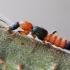 Paederus riparius - Trumpasparnis | Fotografijos autorius : Arūnas Eismantas | © Macrogamta.lt | Šis tinklapis priklauso bendruomenei kuri domisi makro fotografija ir fotografuoja gyvąjį makro pasaulį.