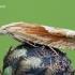 Eucosma hohenwartiana – Bajorinė eukosma | Fotografijos autorius : Arūnas Eismantas | © Macrogamta.lt | Šis tinklapis priklauso bendruomenei kuri domisi makro fotografija ir fotografuoja gyvąjį makro pasaulį.