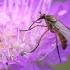 Empididae - Snapmusė | Fotografijos autorius : Arūnas Eismantas | © Macrogamta.lt | Šis tinklapis priklauso bendruomenei kuri domisi makro fotografija ir fotografuoja gyvąjį makro pasaulį.