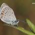 Polyommatus amandus - Didysis melsvys | Fotografijos autorius : Arūnas Eismantas | © Macrogamta.lt | Šis tinklapis priklauso bendruomenei kuri domisi makro fotografija ir fotografuoja gyvąjį makro pasaulį.