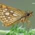 Carterocephalus silvicola - Geltonmargė hesperija   Fotografijos autorius : Arūnas Eismantas   © Macrogamta.lt   Šis tinklapis priklauso bendruomenei kuri domisi makro fotografija ir fotografuoja gyvąjį makro pasaulį.