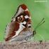 Apatura iris - Kilnioji vaiva | Fotografijos autorius : Arūnas Eismantas | © Macrogamta.lt | Šis tinklapis priklauso bendruomenei kuri domisi makro fotografija ir fotografuoja gyvąjį makro pasaulį.