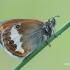 Coenonympha arcania - Krūminis satyriukas | Fotografijos autorius : Arūnas Eismantas | © Macrogamta.lt | Šis tinklapis priklauso bendruomenei kuri domisi makro fotografija ir fotografuoja gyvąjį makro pasaulį.
