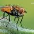 Eliozeta helluo - Dygliamusė | Fotografijos autorius : Arūnas Eismantas | © Macrogamta.lt | Šis tinklapis priklauso bendruomenei kuri domisi makro fotografija ir fotografuoja gyvąjį makro pasaulį.