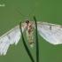 Ectropis crepuscularia - Mėlyninis žievėsprindis | Fotografijos autorius : Arūnas Eismantas | © Macrogamta.lt | Šis tinklapis priklauso bendruomenei kuri domisi makro fotografija ir fotografuoja gyvąjį makro pasaulį.