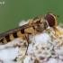 Meliscaeva cinctella - Žiedmusė | Fotografijos autorius : Arūnas Eismantas | © Macrogamta.lt | Šis tinklapis priklauso bendruomenei kuri domisi makro fotografija ir fotografuoja gyvąjį makro pasaulį.