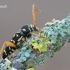 Margasis raštenis - Plagionotus arcuatus | Fotografijos autorius : Arūnas Eismantas | © Macrogamta.lt | Šis tinklapis priklauso bendruomenei kuri domisi makro fotografija ir fotografuoja gyvąjį makro pasaulį.