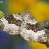 Epirrhoe rivata - Pilkbaltė cidarija   Fotografijos autorius : Arūnas Eismantas   © Macrogamta.lt   Šis tinklapis priklauso bendruomenei kuri domisi makro fotografija ir fotografuoja gyvąjį makro pasaulį.