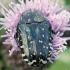 Oxythyrea funesta - Kvapusis auksavabalis | Fotografijos autorius : Arūnas Eismantas | © Macrogamta.lt | Šis tinklapis priklauso bendruomenei kuri domisi makro fotografija ir fotografuoja gyvąjį makro pasaulį.