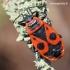 Pyrrhocoris apterus - Blakė kareivėlis   Fotografijos autorius : Arūnas Eismantas   © Macrogamta.lt   Šis tinklapis priklauso bendruomenei kuri domisi makro fotografija ir fotografuoja gyvąjį makro pasaulį.