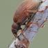 Polydrusus mollis - Smailiablauzdis lapinukas   Fotografijos autorius : Arūnas Eismantas   © Macrogamta.lt   Šis tinklapis priklauso bendruomenei kuri domisi makro fotografija ir fotografuoja gyvąjį makro pasaulį.
