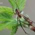 Metellina mengei - Mengės skylūnėlis | Fotografijos autorius : Arūnas Eismantas | © Macrogamta.lt | Šis tinklapis priklauso bendruomenei kuri domisi makro fotografija ir fotografuoja gyvąjį makro pasaulį.