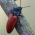 Ampedus pomonae / Ampedus pomorum - Kelmaspragšis | Fotografijos autorius : Arūnas Eismantas | © Macrogamta.lt | Šis tinklapis priklauso bendruomenei kuri domisi makro fotografija ir fotografuoja gyvąjį makro pasaulį.
