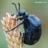 Meloe violaceus - Violetinis gegužvabalis   Fotografijos autorius : Arūnas Eismantas   © Macrogamta.lt   Šis tinklapis priklauso bendruomenei kuri domisi makro fotografija ir fotografuoja gyvąjį makro pasaulį.