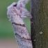Calliteara pudibunda - Raudonuodegis verpikas | Fotografijos autorius : Arūnas Eismantas | © Macrogamta.lt | Šis tinklapis priklauso bendruomenei kuri domisi makro fotografija ir fotografuoja gyvąjį makro pasaulį.