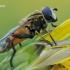 Helophilus hybridus - Žiedmusė | Fotografijos autorius : Arūnas Eismantas | © Macrogamta.lt | Šis tinklapis priklauso bendruomenei kuri domisi makro fotografija ir fotografuoja gyvąjį makro pasaulį.