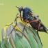 Empididae - Snapmusė   Fotografijos autorius : Arūnas Eismantas   © Macrogamta.lt   Šis tinklapis priklauso bendruomenei kuri domisi makro fotografija ir fotografuoja gyvąjį makro pasaulį.