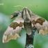 Mimas tiliae - Liepinis sfinksas | Fotografijos autorius : Arūnas Eismantas | © Macrogamta.lt | Šis tinklapis priklauso bendruomenei kuri domisi makro fotografija ir fotografuoja gyvąjį makro pasaulį.