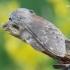 Stauropus fagi - Skroblinė harpija | Fotografijos autorius : Arūnas Eismantas | © Macrogamta.lt | Šis tinklapis priklauso bendruomenei kuri domisi makro fotografija ir fotografuoja gyvąjį makro pasaulį.