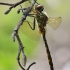 Geltondėmė skėtė - Somatochlora flavomaculata   Fotografijos autorius : Arūnas Eismantas   © Macrogamta.lt   Šis tinklapis priklauso bendruomenei kuri domisi makro fotografija ir fotografuoja gyvąjį makro pasaulį.