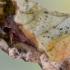 Storakojis pievinukas - Mythimna turca | Fotografijos autorius : Arūnas Eismantas | © Macrogamta.lt | Šis tinklapis priklauso bendruomenei kuri domisi makro fotografija ir fotografuoja gyvąjį makro pasaulį.