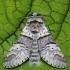 Balsvasis dviuodegis - Furcula bifida | Fotografijos autorius : Arūnas Eismantas | © Macrogamta.lt | Šis tinklapis priklauso bendruomenei kuri domisi makro fotografija ir fotografuoja gyvąjį makro pasaulį.