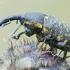 Daginis straubliukas - Larinus sturnus ???   Fotografijos autorius : Arūnas Eismantas   © Macrogamta.lt   Šis tinklapis priklauso bendruomenei kuri domisi makro fotografija ir fotografuoja gyvąjį makro pasaulį.