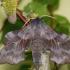 Amūrinis sfinksas - Laothoe amurensis | Fotografijos autorius : Arūnas Eismantas | © Macrogamta.lt | Šis tinklapis priklauso bendruomenei kuri domisi makro fotografija ir fotografuoja gyvąjį makro pasaulį.