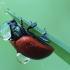 Rytas Plokštinėje - 2 | Fotografijos autorius : Arūnas Eismantas | © Macrogamta.lt | Šis tinklapis priklauso bendruomenei kuri domisi makro fotografija ir fotografuoja gyvąjį makro pasaulį.