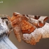 Rausvasis mėnuliasprindis - Selenia tetralunaria  | Fotografijos autorius : Arūnas Eismantas | © Macrogamta.lt | Šis tinklapis priklauso bendruomenei kuri domisi makro fotografija ir fotografuoja gyvąjį makro pasaulį.